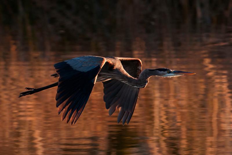 Heron - Great Blue - Apalachicola, FL