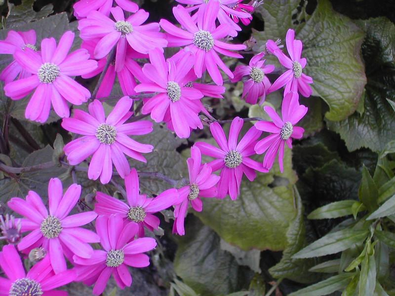purple daisies.jpg