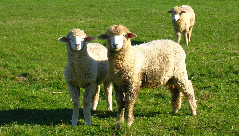 2 Sheep.jpg