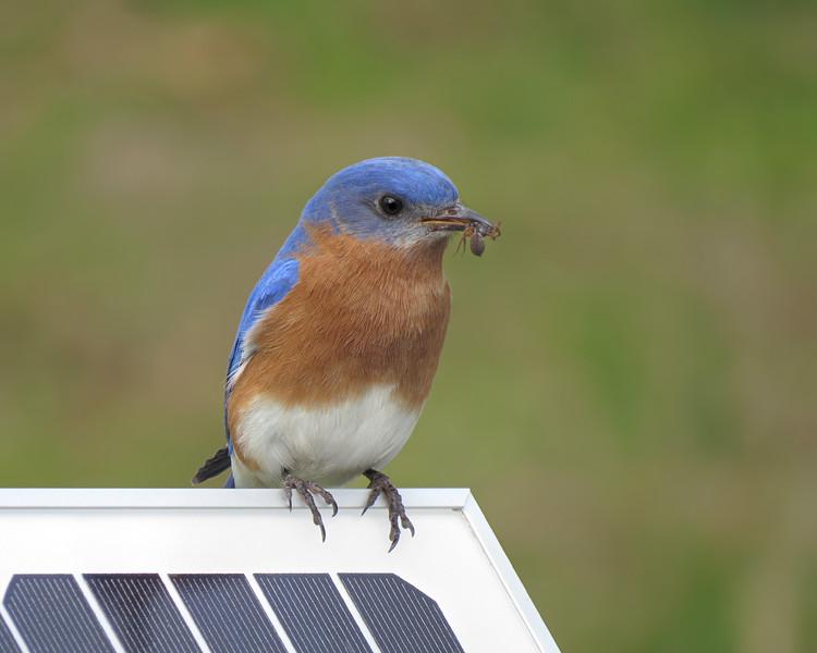 sx50_Bluebird_Ben_413.jpg