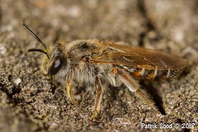 Wildbiene (Superfamilie Apoidea)