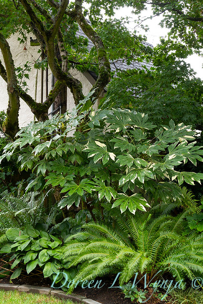 Fatsia japonica 'Variegata' - Polystichum munitum sword fern_5199.jpg
