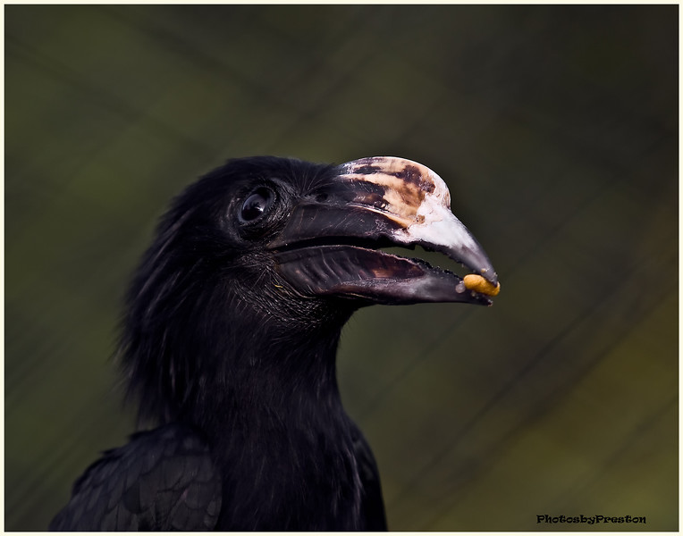 Sulawesi Tarictic Hornbill  The Sulawesi Hornbill, Penelopides exarhatus also known as Temminck's Hornbill, Sulawesi Tarictic Hornbill or Sulawesi Dwarf Hornbill is a medium-sized, approximately 53cm long, black hornbill with a large, yellowish bill. The male has a yellow face and throat, and a reddish casque on top of bill. The female has all black plumage with a darker and smaller bill.  An Indonesian endemic, the Sulawesi Hornbill is distributed in the tropical lowland, swamps and primary forests of Sulawesi, from sea-level to altitude up to 1,100 metres. There are two subspecies of the Sulawesi Hornbill. The nominate form, P. e. exarhatus occurs in north Sulawesi. The second subspecies, P. e. sanfordi is found in central, east and south Sulawesi, Buton and Muna Island.  As with other hornbills, the Sulawesi Hornbill is believed to be a monogamous species. The diet consists mainly of fruits, figs and insects. The female seals itself inside a tree hole for egg-laying. During this time, the male will provide food for the female and the young.
