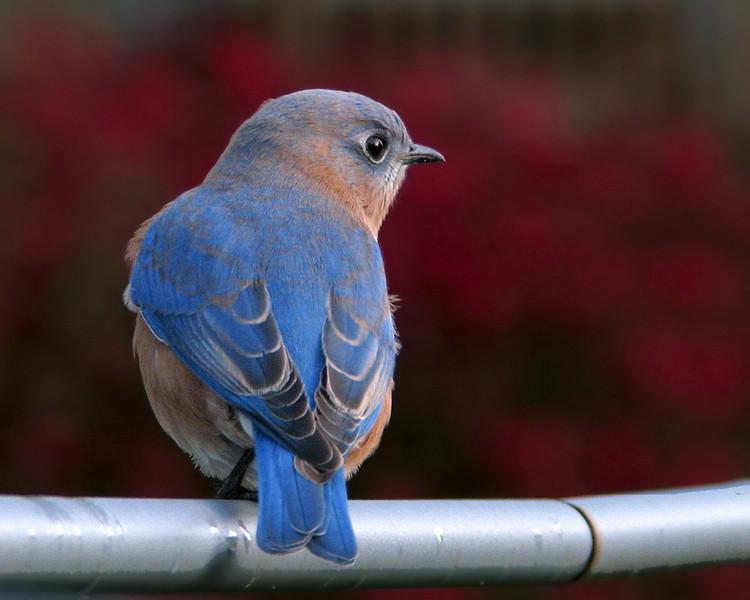 bluebird_6403.jpg