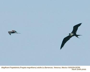MagnificentFrigatebirdsA29766 copy.jpg