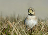 horned lark, female gathers nest material, LI, NY