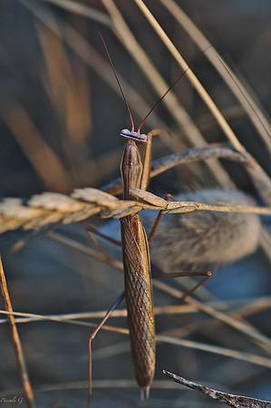 Locusts-Mantis-Crickets ; Criquets, Mantes, Grillons
