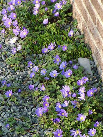 Anemone blanda 'Blue Shades'.jpg
