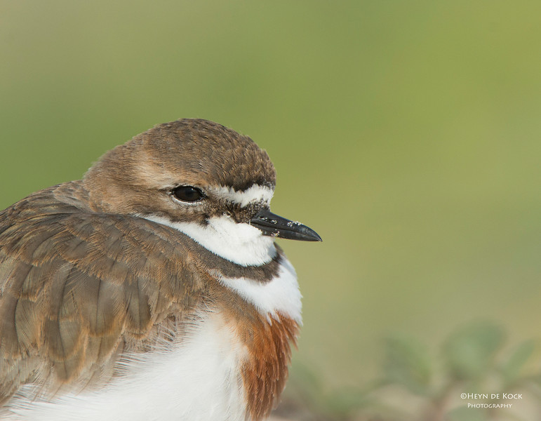 Double-banded Plover, Lake Conjola, NSW, Aug 2013-5.jpg