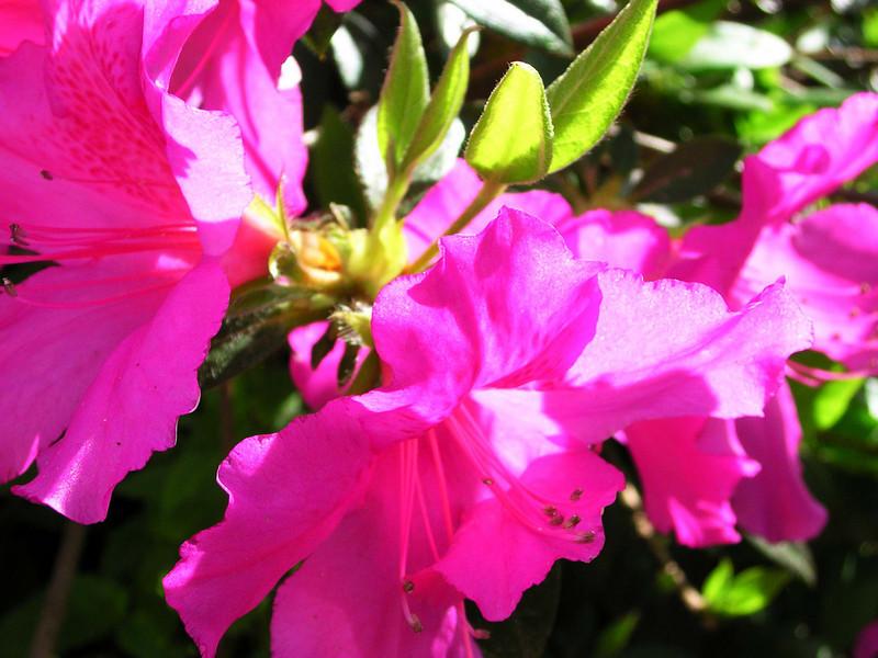 carolina flower 062.jpg