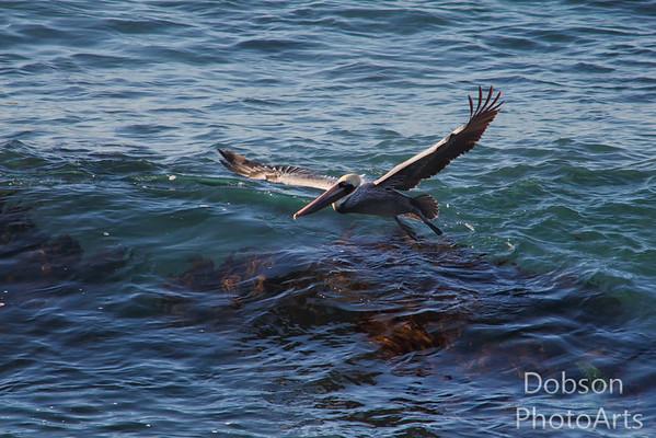 Brown Pelicans  - Flight