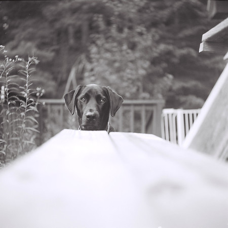Abby the labrador retriever
