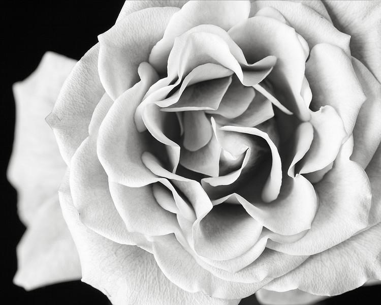 pink-rose-bw.jpg