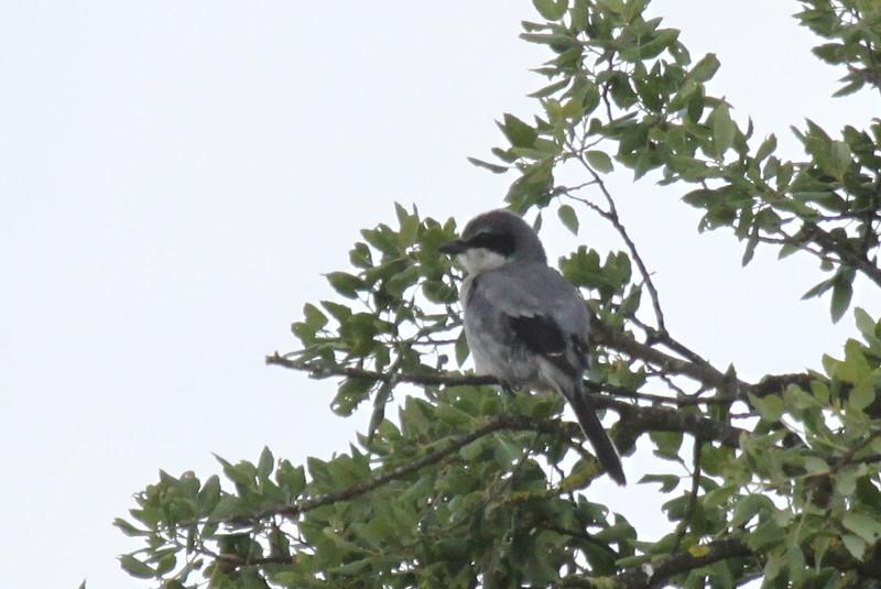 Southern grey shrike,  Iberisk varfÂgel
