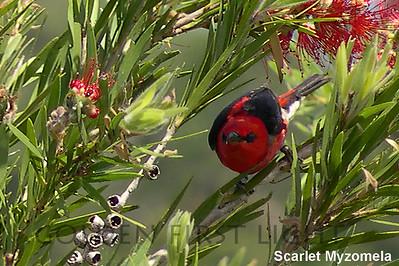 Scarlet Myzomela, Australia