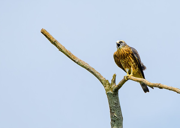 A Biref Encounter with Mississippi Kite & Mike Jones