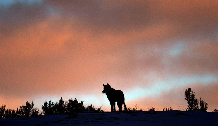 . A lone wolf stands on a ridge at sunrise in Yellowstone. PHOTO:Will Lester