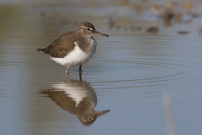 Common Sandpiper (Andarríos chico)