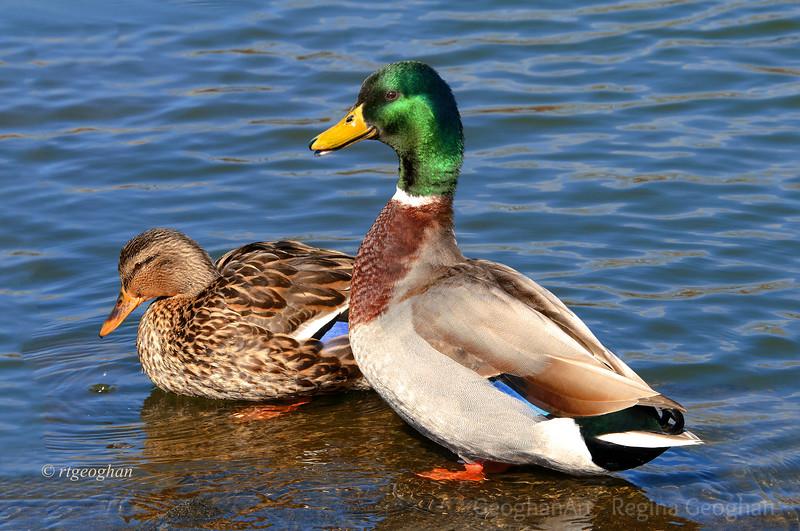 Day 53: Ducks Mallard Pair - Feb 22.