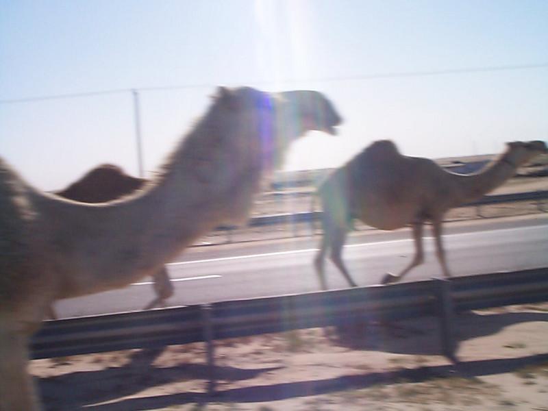 Camel up close.jpg