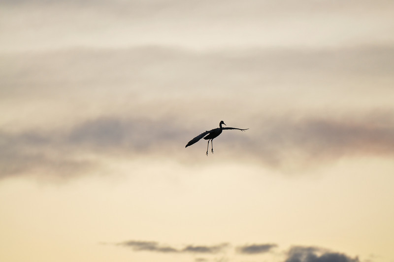 Sandhill crane at sunset, Bosque del Apache