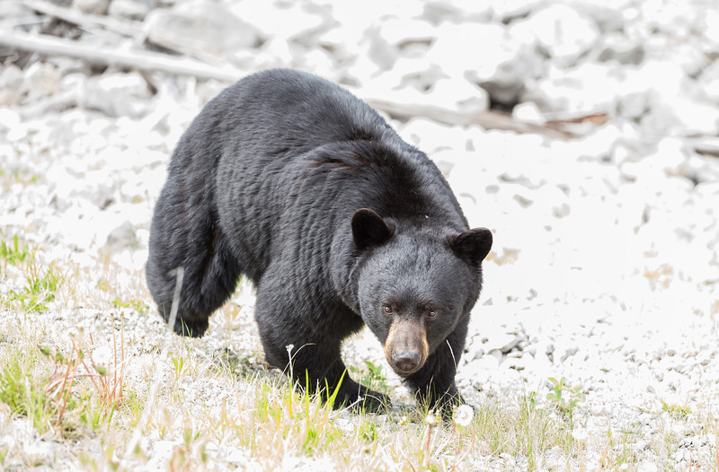 Black Bear 2 Maligne Lake June 2019.jpg