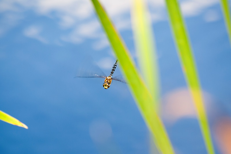 Emperor Dragonfly in flight mode.jpg