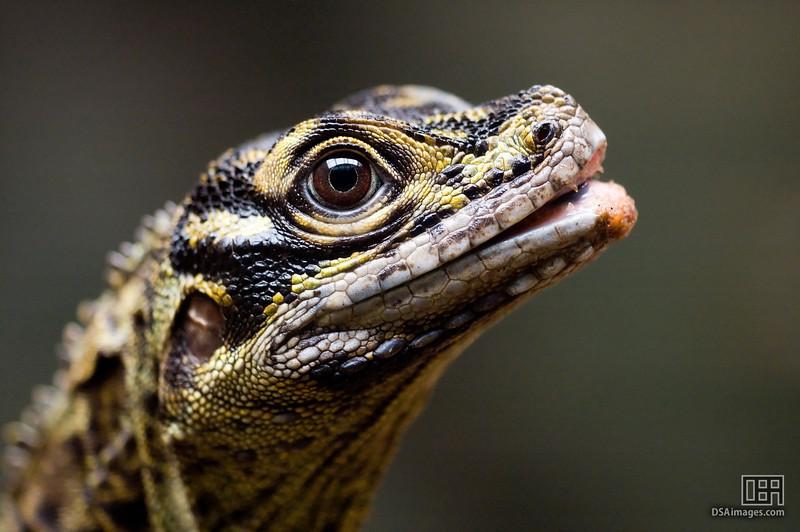 Philippine Sail-Finned Water Dragon (Hydrosaurus pustulatus)