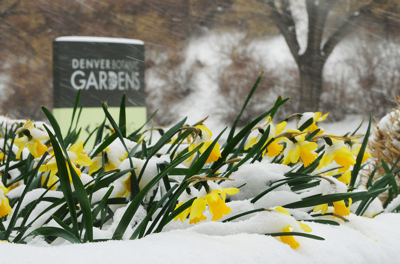 . These colorful daffodils,  always one of the first flowers in the spring, spent the day brightening a monochromatic, snowy Tuesday, April 9,  2013 at the Denver Botanic Gardens. (Photo By Cyrus McCrimmon/The Denver Post)