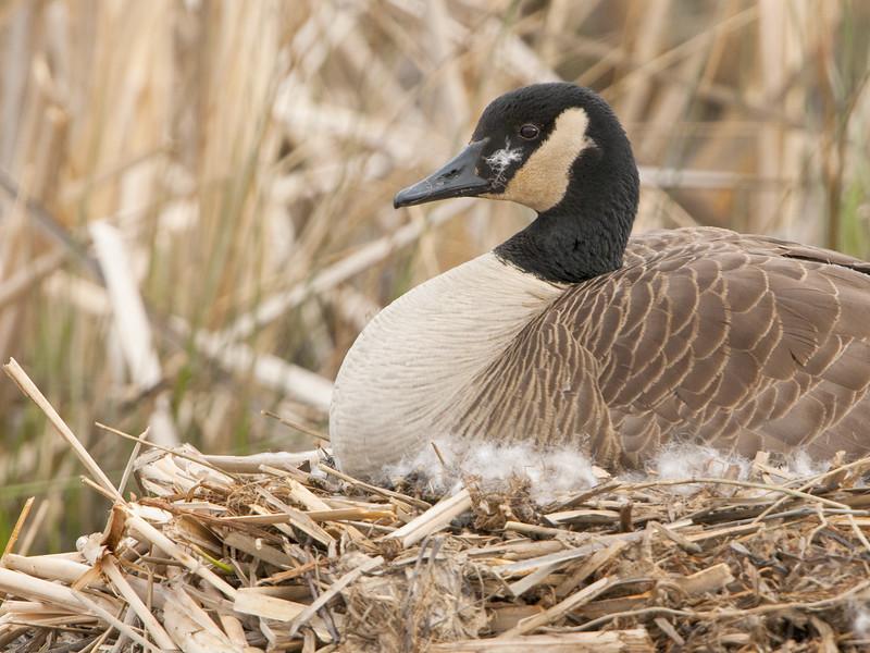 Canada Goose - Incubating