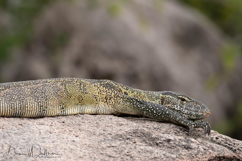 Nile Monitor on the rock