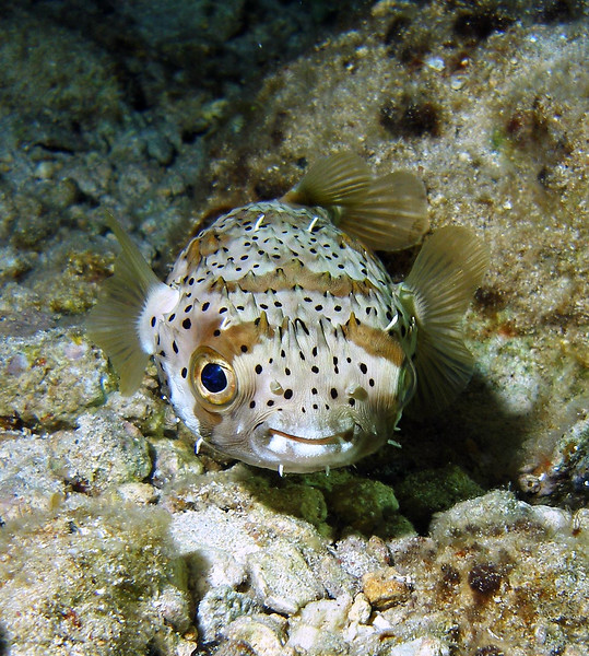 """""""P"""" is for Porcupine Pufferfish.  Those eyes! and they actually look like they're  smiling!  Love seeing these guys.  Taken while scuba diving in Cozumel."""