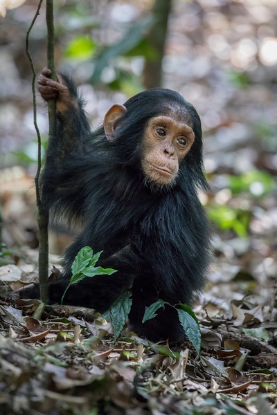African_Apes_0218_PSokol-830-Edit.jpg