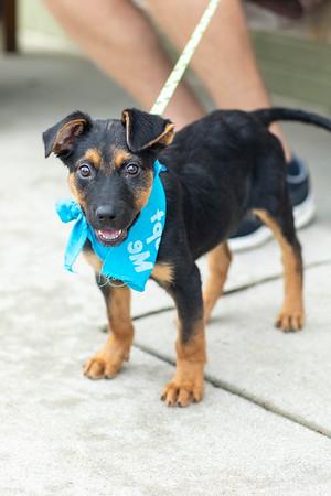Shepherd Pupper