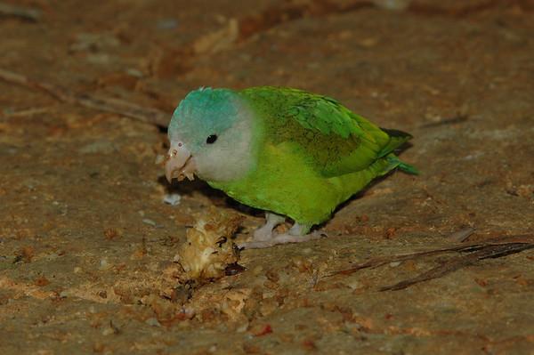 Parrot Ecuador