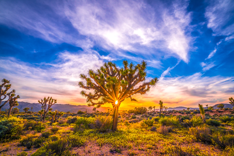 Joshua Tree Spring Symphony #9: Joshua Tree National Park Wildflowers Superbloom Sunset Fine Art Landscape Nature Photography  Dr. Elliot McGucken Prints & Luxury Wall Art!