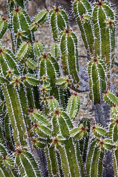 The Cute Cacti