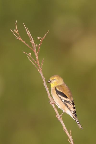 American Goldfinch - Female - Alviso, CA, USA