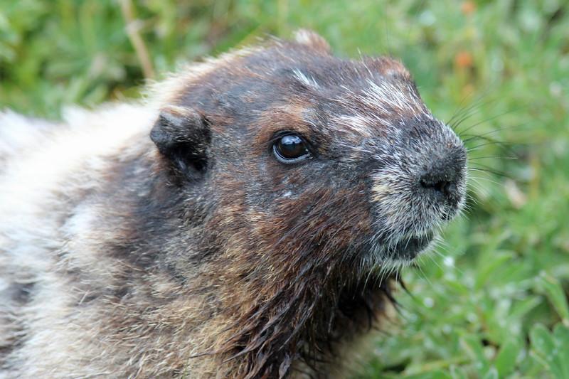Posing Marmot.jpg