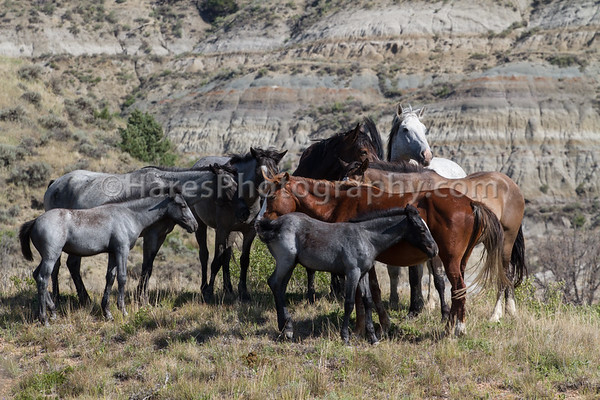 Wild Horses - Theodore Roosevelt NP