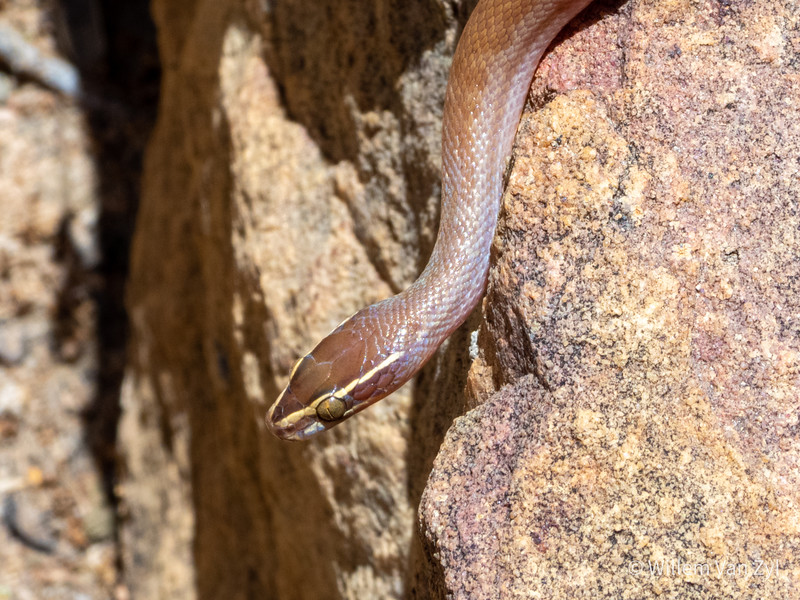 20191220 Brown House Snake (Boaedon capensis) from Piketberg, Western Cape