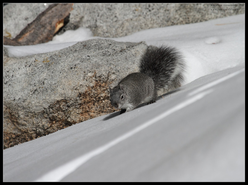 Squirrel in the snow, Mt. San Jacinto State Park, Palm Springs, California, March 2011