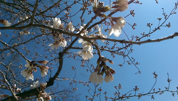 Cherry Blossom Walk 2016