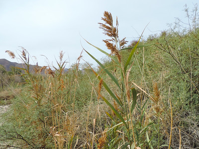 Common Reed (Phragmites australis)