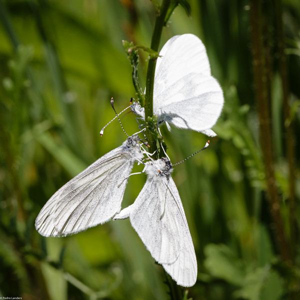 One more Wood White than necessary