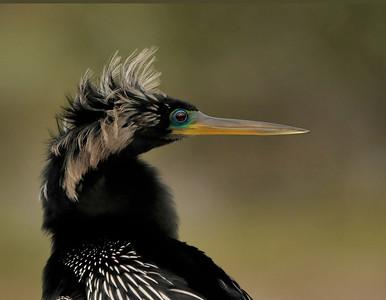 Anhingas & Cormorants