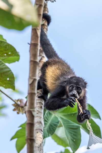 Young mantled howler