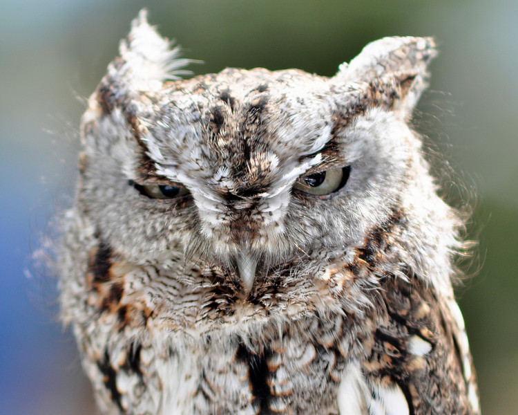 Screech Owl - Photo-op courtesy of the World Bird Sanctuary.