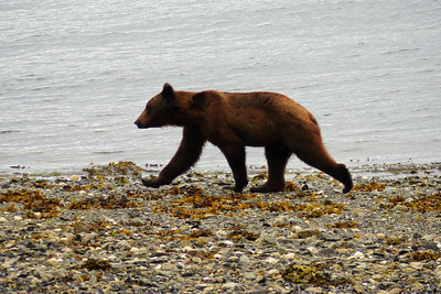 Young Brown Bear Walking the Beach June 2016, Cynthia Meyer, Tenakee Springs, Alaska P1210170