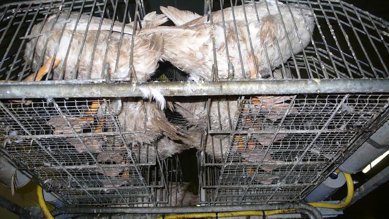 canards-foie-gras-2008-fr-B-025.jpg